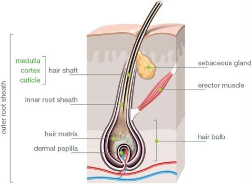 structura firului de par